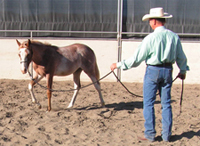 Training the Foal and Weanling