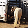 How to load a horse into the trailer